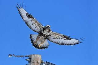 Rough-legged Hawk Taking Flight DSC_3076