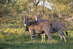 Unusual View... (Hector16) Tags: ndutu wildebeestmigration eastafrica tanzania serengeti migration wildlife nature arusharegion tz