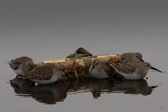 CALIDRIS ALPINA (simonecampanile) Tags: sabaudia caprolace lago lake birds tamron 70300 mto1000 canon 5d markiii 5dmarkiii winter spring nature wild lazio latina uccello spiaggia sabbia cielo animal
