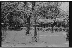 P59-2018-025 (lianefinch) Tags: argentique argentic analogique analog blackandwhite blackwhite bw noirblanc noiretblanc nb monochrome neige snow arbre tree jardin garden outdoor extérieur arches