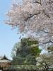 18o2753 (kimagurenote) Tags: 護国寺 gokokuji temple 大仏 daibutsu buddha statue 桜 sakura prunus cerasus cherry blossom flower 東京都文京区 bunkyotokyo bunkyōtokyo