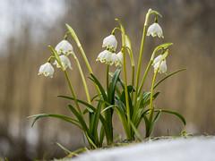 P3300171 (turbok) Tags: blütenweis frühlingsknotenblume pflanze wildpflanzen c kurt krimberger
