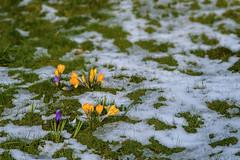 Now? (01.04.2018) (Siebbi) Tags: krokus crocus iridaceae snow schnee winter nature natur pflanze plant blume flower blossom blüte lawn rasen spring frühling