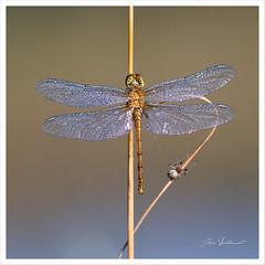 Dans la rosée (Joce.V) Tags: libellule odonate insecte rosée gouttesderosée nature canon canonef300mmf4isusm canoneos600d
