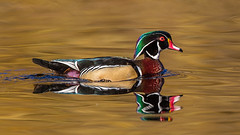 Wood Duck (Eric Gofreed) Tags: britishcolumbia canada duck vancouverisland woodduck