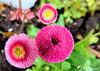 Pâquerettes pomponettes (jean-daniel david) Tags: fleur pâquerette pomponette rose pink vert verdure feuille bokeh grosplan closeup macro trio jardin