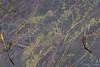 Utricularia intermedia (Nelleke C) Tags: 2017 letterdyfehouse roundstone utriculariaintermedia bladderwort connemara countygalway flora holiday ierland ireland lentibulariaceae peatbog platblaasjeskruid vakantie veen