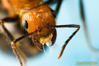 Flying Ant - head shot