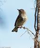 Warbler in the Pines - HWW (11Jewels) Tags: canon 70300 palmwarbler circlebbarreserve lakelandfl alligatoralley wingwednesday