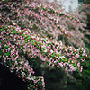 spring is the thing, part four (manyfires) Tags: film analog flowers floralscape floral blossom bloom spring hasselblad hasselblad500cm mediumformat square pacificnorthwest pnw oregon crabapple tree branches bokeh pdx portland