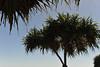 MJ2_5364.jpg (M. Jarrett) Tags: australia scottshead pandanus southwestrocks