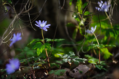 20180318-DS7_0544.jpg (d3_plus) Tags: bokeh aiafzoomnikkor80200mmf28sed d700 thesedays wildflower 日常 walking 城山 ボケ 相模原 望遠 カタクリ 自然 景色 dogtoothviolet sagamihara trekking 神奈川県 sky telephoto 山野草 風景 japan erythroniumjaponicum ニコン トレッキング nature dailyphoto ハイキング nikon nikond700 kanagawa flower nikkor shiroyama 8020028 dogtoothvioletvillage bloom 植物 80200mmf28d 散歩 80200mmf28af plant 花 scenery 80200mmf28 daily 城山かたくりの里 hiking 80200 日本 tele 80200mm かたくりの里 空