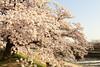 Sakura at Kamo riverside (Teruhide Tomori) Tags: kyoto riverside kamoriver japon japan flower sakura cherry spring nature landscape 京都 鴨川 春 桜 日本 花 風景 bloom blossom tree morning
