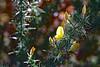 Petite Fleur (Ciceruacchio) Tags: fleur fiore flower spring primavera printemps ajonc gorse ginestra butterfly farfalla papillon gold or oro yellow jaune giallo chateaubriand nikon