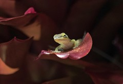 Let The Sunshine In (ACEZandEIGHTZ) Tags: lizard bromeliad nature nikon d3200 green anole sunshine morning light anolis carolinensis alittlebeauty coth coth5 sunrays5