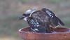 laughing kookaburra (Dacelo novaeguineae)-7331 (rawshorty) Tags: rawshorty birds canberra australia act symonston