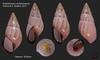 amphidromus noriokowasoei 22 vietnam 35mm8 (MALACOLLECTION Landshells Freshwater Gastropods) Tags: camaenidae camaeninae amphidromus amphidromusnoriokowasoei thachhuber2017 vietnam lamdongprovince claudeandamandineevanno astéropodes gastropods invertebrates faune fauna macro gastropoda escargots terrestres collection schnecken mollusques molluscs mollusca coquillages landshells landschnecken landmollusken landsnails malacologie malacology macrophotography macrophotographie