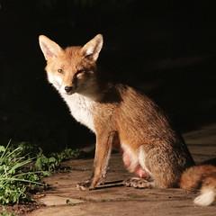 squinty eyed good-night ;) (Sue Elderberry) Tags: fox redfox wildlife urbanfox urbanwildlife cityfox garden night canine vulpus vulpusvulpes animal