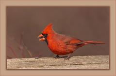 Mr. C (hey its k) Tags: 2018 birds cardinal cherryhillrbg nature wildlife burlington ontario canada ca img9969e canon6d tamron 150600mm male red