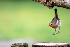 Leap of faith (Knutsfordian) Tags: erithacusrubecula robin red breast bird garden leap leaping eurasian