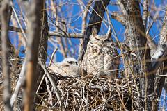 Sleeping Great Horned Owl family