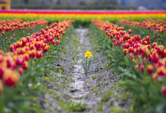 Impostor (s.d.sea) Tags: daffodil tulips skagit valley tulip festival field flowers bloom spring blossom row impostor washington washingtonstate pnw pacificnorthwest pentax k5iis 55300mm outdoors nature garden farm grow plant plants green