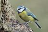 Eurasian Blue Tit (Mike Slade.) Tags: eurasianbluetit cyanistescaeruleus bird stovercountrypark newtonabbot devon ©mikeslade