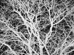 Experimentation 68 (Rossdxvx) Tags: experimental experimentation eerie textured texture tree trees texturized abstract art silhouette blackandwhite noir dark woods winter 2018 lofi overexposed outdoor outdoors otherworldly ominous surreal surrealism grim gritty gloomy grimtrees grey wintertexturized
