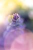 Spring 2018 (janeway1973) Tags: spring frühling garden garten macro makro closeup nahaufnahme colorful farbenfroh bunt flowers blossoms blumen blüten plants pflanzen günsel bugleweed backlighting gegenlicht