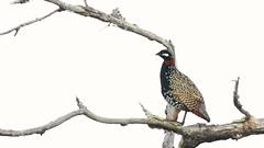 Black Francolin (Francolinus francolinus) (SharifUddin59) Tags: francolinusfrancolinus blackfrancolin bird gamebird calling brach branch