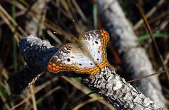 White Peacock Butterfly (Anartia jathrophae); Punta Gorda, FL, Babcock-Webb Wildlife Management Area [Lou Feltz] (deserttoad) Tags: nature insect butterfly refuge florida white orange swamp