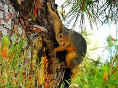 A friendly squirrel on my way. (panoskaralis) Tags: squirrel animal tree pine green outdoor nature lesvos lesvosisland mytilene greece greek hellas hellenic zoom nikoncoolpixb700 nikon
