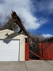 April 17, 2018 - A huge tree down in Thornton. (Ernie Miranda)