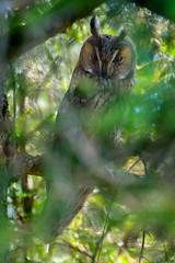 Asio otus (www.endlessfields.ch) Tags: asio otus waldohreule owl bird awesome brilliant beautiful amazing stunning sonya6500 birdlife birdphotography sigma animal animalphotography wildlife wildlifephotography lucerne eule long eared longeared forest switzerland birds