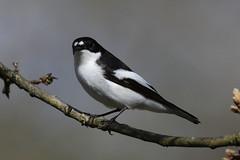 Pied Flycatcher (Edwyn Anderton) Tags: piedflycatcher flycatcher peakdistrict padleygorge padley longshaw longshawestate malepiedflycatcher