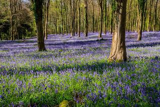 Hampshire Bluebells