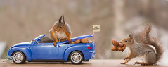 red squirrels in a car with nuts (Geert Weggen) Tags: animal arrangement britishroyalty celebration celebrationevent ceremony domesticanimals editorial event happiness holidayevent humanrole joy lifeevents marching militaryuniform northerneurope order outdoors parade photography princeroyalperson princeregiment royalty smiling traditionalceremony uk uniform wedding weddingceremony harry meghan princess squirrel redsquirrel marry word text open mouth dress happy fun party postcard birthday car drive vehicle yes weddingmoon bispgården jämtland sweden ragunda geert weggen