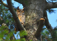 DSC_1103_edit (Hanzy2012) Tags: nikon d500 afsnikkor500mmf4difedii toronto ontario canada wildlife bird greathornedowl bubovirginianus owl