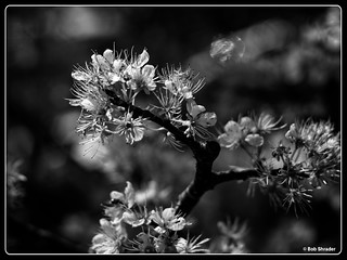 Mexican Plum in Black and White