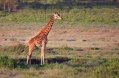 Giraffe (ashockenberry) Tags: giraffe nature naturephotography wildlife wildlifephotography natural mammal towering majestic beautiful wonderous africa grassland safari tanzania east serengeti savanna travel eco tourism herbivore standing evening light ashleyhockenberryphotography