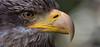 Juvenile bald eagle (pe_ha45) Tags: greifvögel weiskopfseeadler baldeagle falconry fauconnerie falknerei raptor rapace greifvogel pyargueàtêteblanche haliaeetusleucocephalus