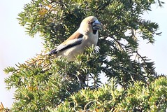 Hawfinch feeding in yew tree (glostopcat) Tags: hawfinch finch bird winter glos yewtree sandfordpark cheltenhamspa