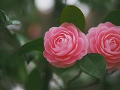double Beauty (Kito K (fxkito2)) Tags: japan tokyo macro flower omd bokeh nature closeup lumix fineart olympus camellia dof