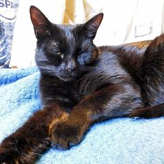 Photo of the day: 22.3.2018 (81) (House Of Secrets Incorporated) Tags: photooftheday photooftheday2018 aphotoaday2018 dailyphoto dailyphoto2018 dailyphotography dailyphotography2018 dailyphotograph fujiroid cheki instax instaxsquare fujiinstaxsquare fujifilm instantphotograph fujiinstaxsquaresq10 digitalanalog loa cat blackcat havanabrown cats pets animal animals blog blogger blogging kittensandsteamlivejournalcom kittensandsteamblogspotcom instagramkittensandsteam twitterhildebcm belgianblogger