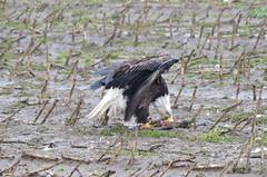 Feeding on Carrion - Caution Graphic (Neal D) Tags: bc abbotsford sumasprairie bird eagle baldeagle haliaeetusleucocephalus carrion