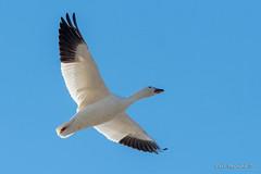 Snow goose or geese (Earl Reinink) Tags: bird duck waterfowl geese goose earl reinink earlreinink nature wildlife sky blue snowgoose snowgeese ihhdiatdza