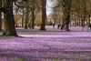Frühlingsgefühle...? (Lilongwe2007) Tags: husum krokusse krokusblütenfelst frühling deutschland bunt blumen blüten schloss schlosspark landschaft natur