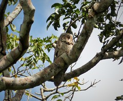 Great Potoo. Nyctibius grandis (gailhampshire) Tags: great potoo nyctibius grandis taxonomy:binomial=nyctibiusgrandis panama birds