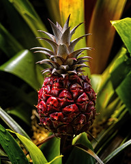 Nature's Delight (MrBlueSky*) Tags: pineapple fruit nature garden outdoor colour horticulture kewgardens royalbotanicgardens london pentax pentaxart pentaxlife pentaxk1 pentaxawards pentaxflickraward aficionados