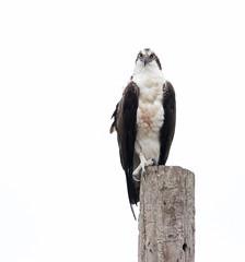 2018 Birds of the Mississippi River Delta (10) (maskirovka77) Tags: saintbernard louisiana unitedstates us river delta bird osprey fisheagle baldeagle shrike pelican egret